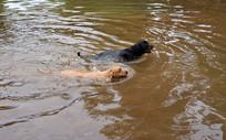 游泳的两条宠物狗