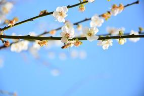 白色梅花摄影图