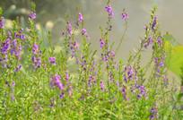 美丽的薰衣草风景