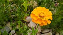 一朵靓丽的金色小花