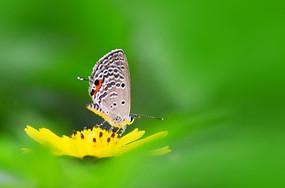 菜花的蝴蝶