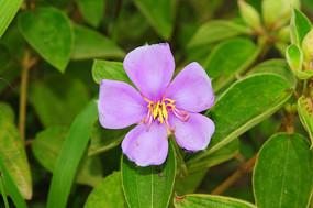 野牡丹的花