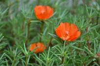 橘红色的太阳花