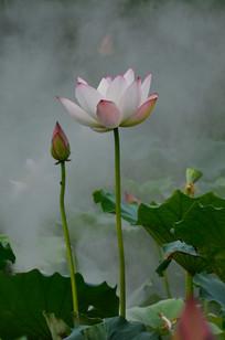 荷花于花骨朵风景