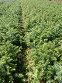 绿油油的杉木苗