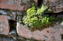 长在墙缝里的苔藓