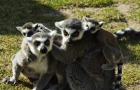 保护动物环尾狐猴