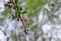 春天里的桃花开放