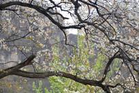 春天梨花开