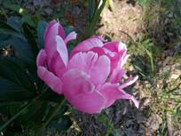 半开的赤芍花图片