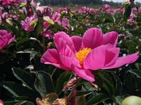 娇艳的赤芍花图片