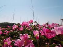 蓝天下的赤芍花园图片