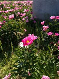 墙角的赤芍花图片