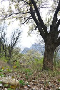深山村中的梨树