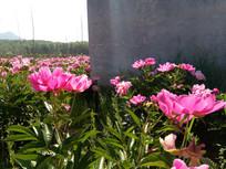 水泥墙边的赤芍花图片