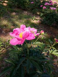 阳光里的赤芍花图片