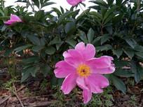 一朵大大的赤芍花图片