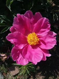 一朵新鲜的大赤芍花图片