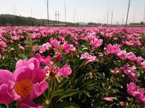 一片赤芍花图片