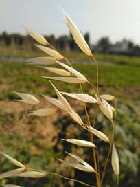 成熟的燕麦