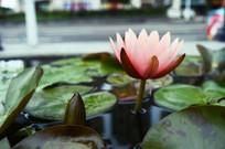 池中的莲叶和盛开的莲花