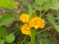 黄色花生花