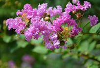 盛开的紫薇花