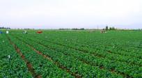 张掖供港蔬菜基地