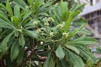 夹竹桃科乔木海杧果枝叶