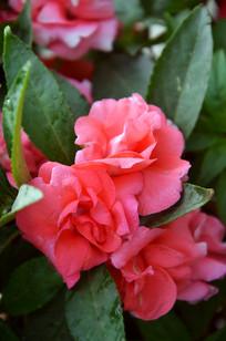 一簇簇硫色凤仙花