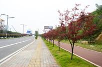 城市干道和街边的红枫树