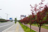 城市绿化红枫树