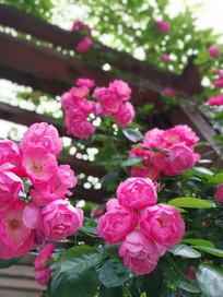 开放的蔷薇