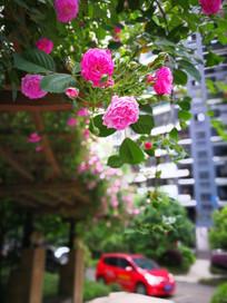 怒放的蔷薇