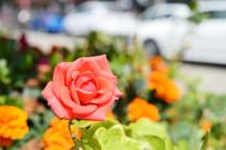 阳光下的红玫瑰