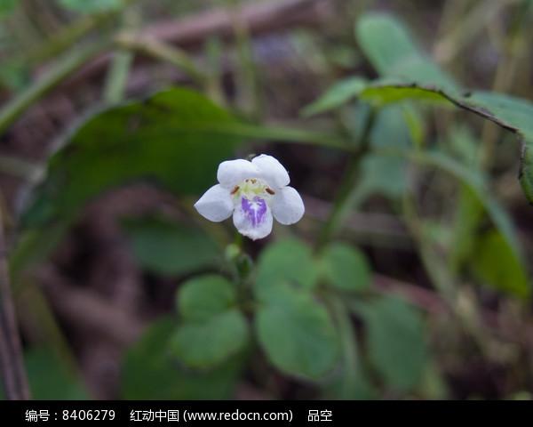 原创摄影图 动物植物 花卉花草 中国特有植物宽叶十万错花朵  请您