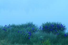 晨雾湖岸马兰花