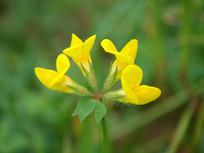细叶百脉根黄色花朵