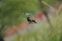 贮藏食物的蜘蛛