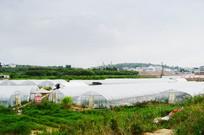 大棚种植的草莓园