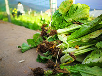 田间的蔬菜