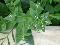 琉璃草枝叶和花朵