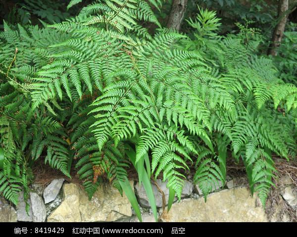 药用植物蕨图片