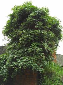 长满绿色植物的老房子