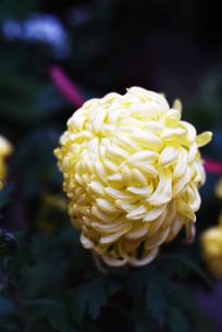 淡黄大盘菊