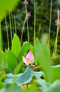芦花丛中的荷花风景图片