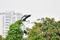 树梢上吊着树枝的鹭鸟