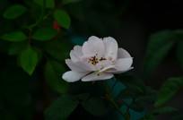 白色小月季花儿