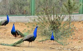 鸟语林里的蓝孔雀