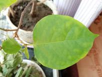 观赏植物叶子图片